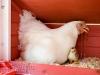 14_baby-chicks