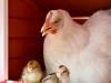 18_baby-chicks