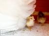 21_baby-chicks