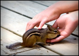 chipmunk eating from hand