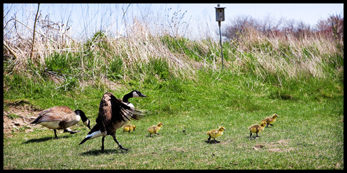 1_mother-goose-goslings