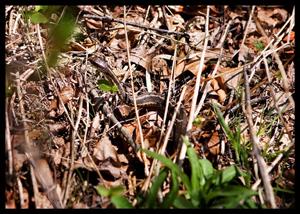 gardener snake