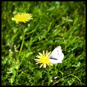 white moth and dandelions