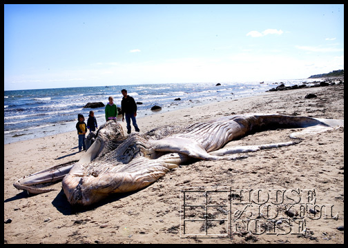 whale-carcass-washed-ashore_2