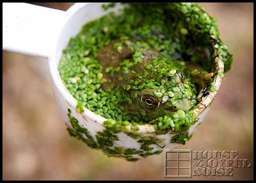 bullfrog-in-cup