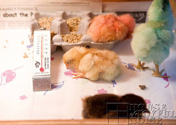 chick-coloring-incubation-embryology-5