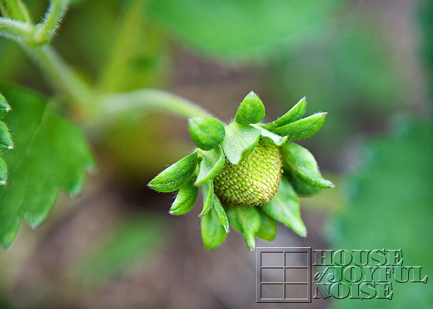 15_strawberry
