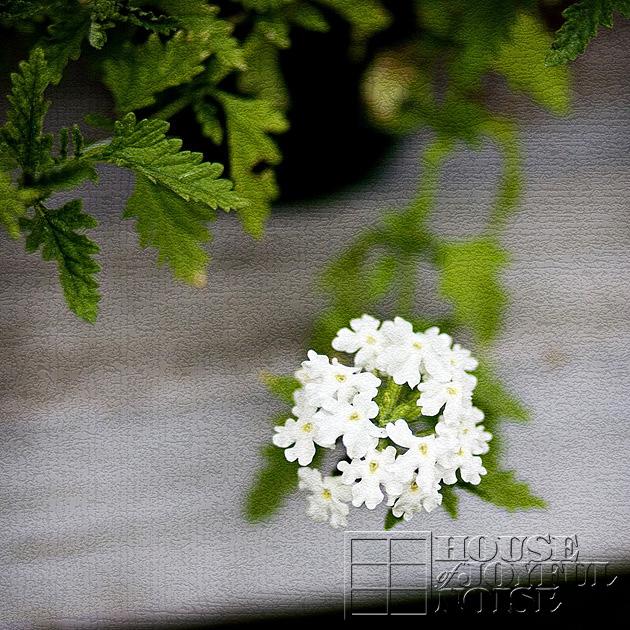 8_white-verbenas