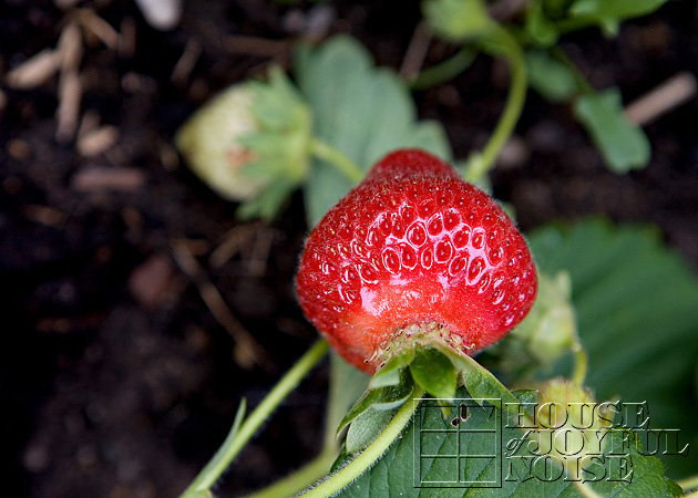 03_growing_strawberries