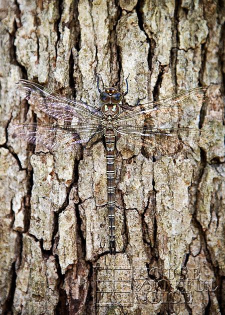 huge-dragonfly-5