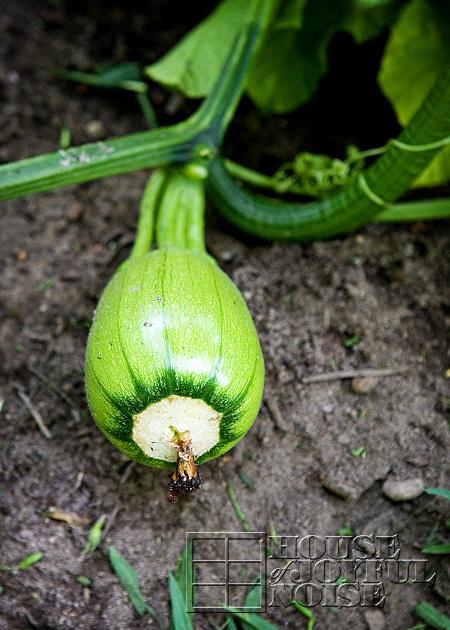 making-growing-pumpkin-patch-progress-results-12