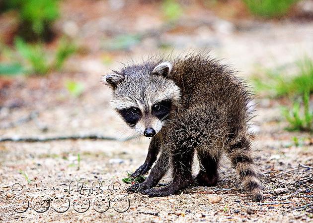 baby-raccoon-study-homeschooling-1