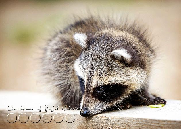 baby-raccoon-study-homeschooling-10