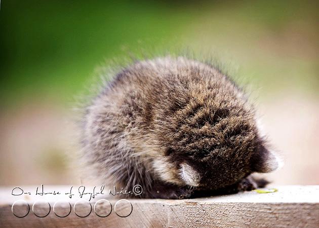 baby-raccoon-study-homeschooling-11