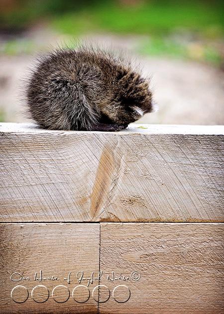 baby-raccoon-study-homeschooling-12