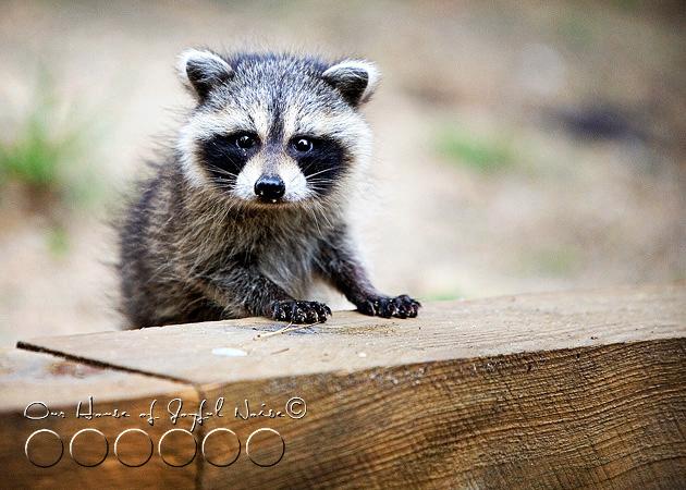 baby-raccoon-study-homeschooling-17