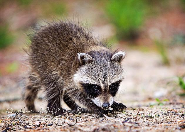 baby-raccoon-study-homeschooling-2