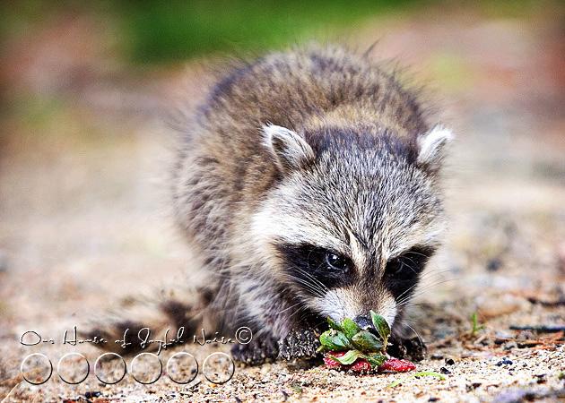 baby-raccoon-study-homeschooling-7