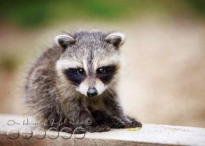 baby-raccoon-study-homeschooling-9