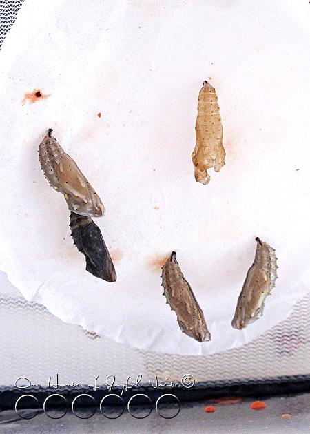 metamorphosis-butterflies-study-homeschoolig-8