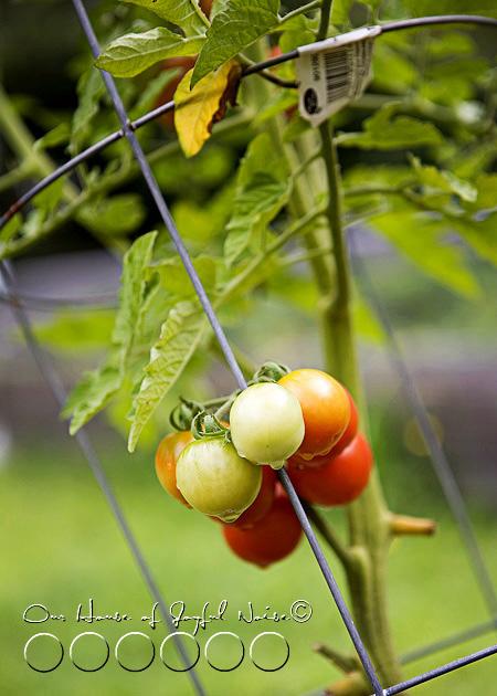 008_cherry-tomatoes-on-vine
