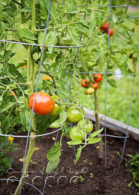 011_tomato-gardening