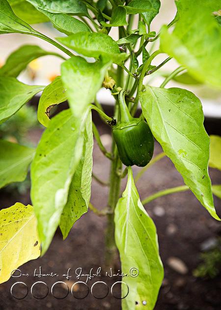 012_green-bell-pepper-plant