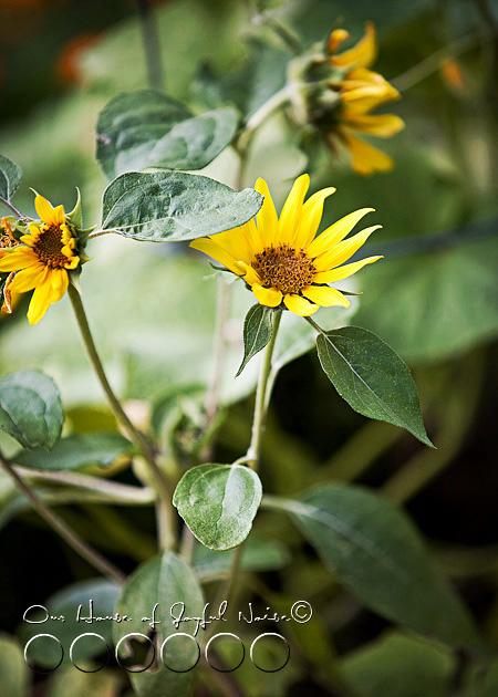 019_sunflowers