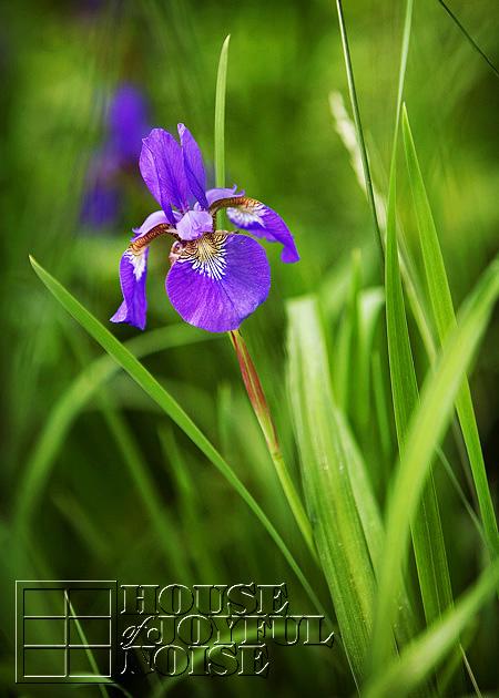 003_iris-flowers