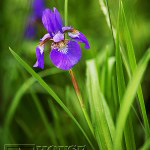 003_iris-flowers-150x150