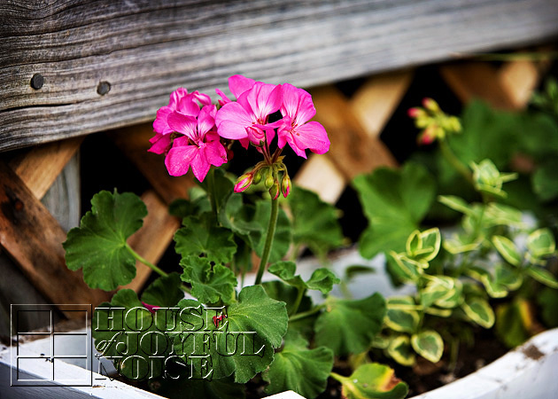 004_geranium-flowers