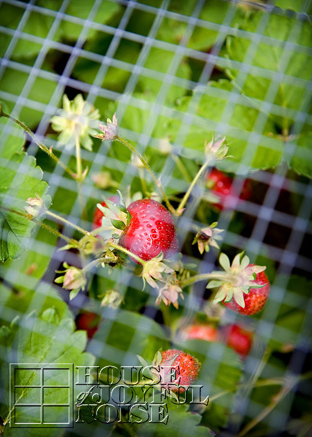 lessons-learned-growing-strawberries-2