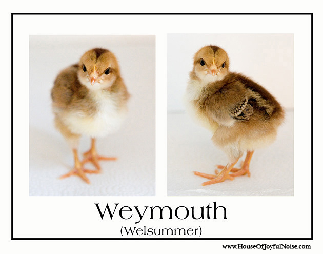 variety of chick chicken breeds photos
