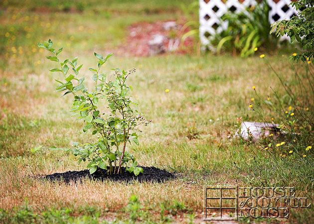 12_blueberry-bush