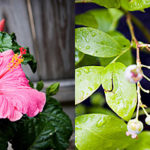 Tropical Hibiscus and Blueberry Bush Blessings