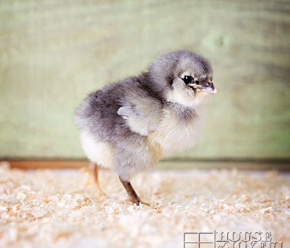 Meet Our 5 Sweet New Baby Chicks, Quick!