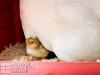 17_baby-chicks