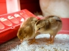 19_baby-chicks