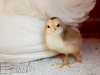 22_baby-chicks