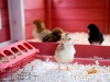 23_baby-chicks