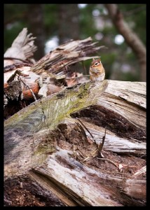 chipmunk on tree stumps
