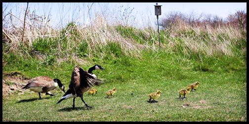 1_mother-goose-goslings