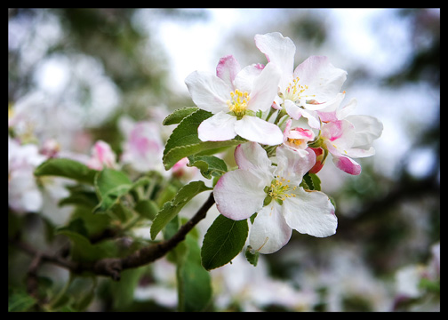 pink-apple-blossom