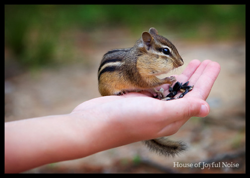 chipmunk in hand