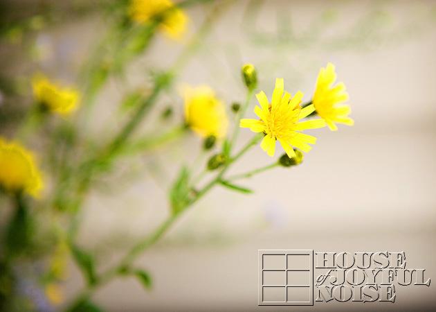 dandelions_