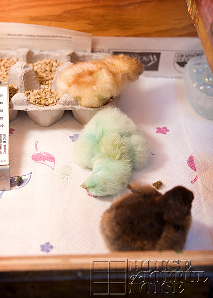 chick-coloring-incubation-embryology-6