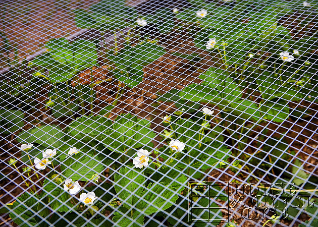 12_ever-bearing-strawberry-plants