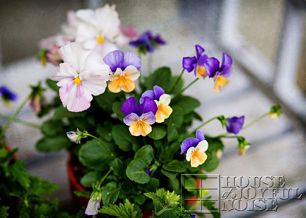 7_pot-of-pansies