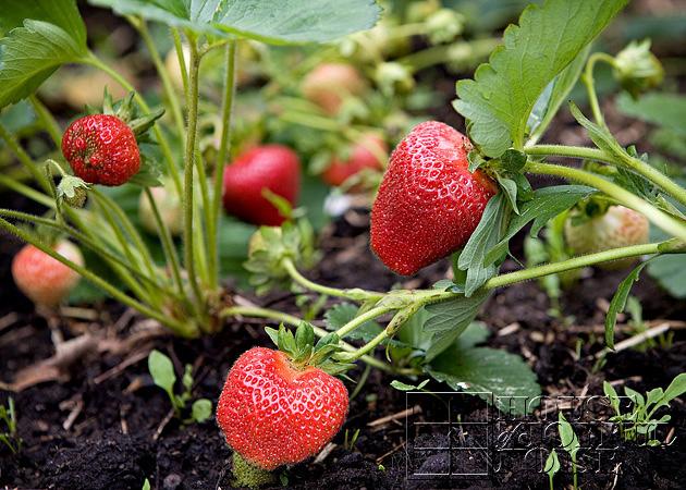 01_strawberries