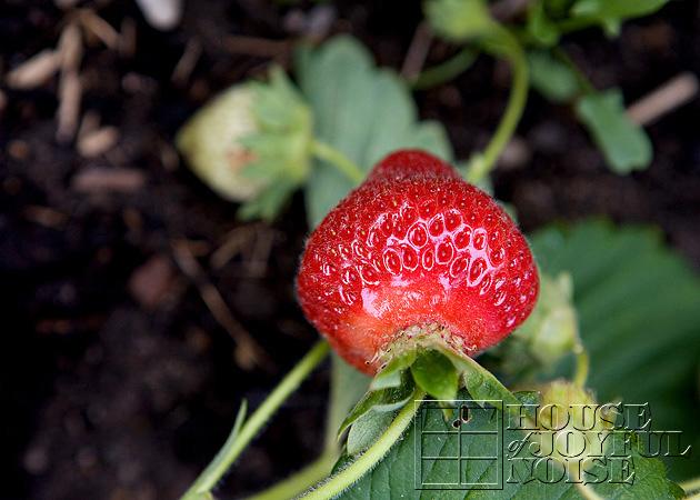 03_growing_strawberries